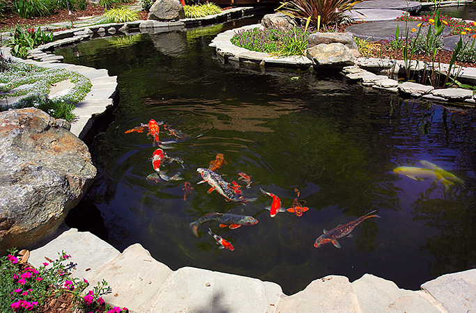 Services nimbus pond inc for Natural koi pond